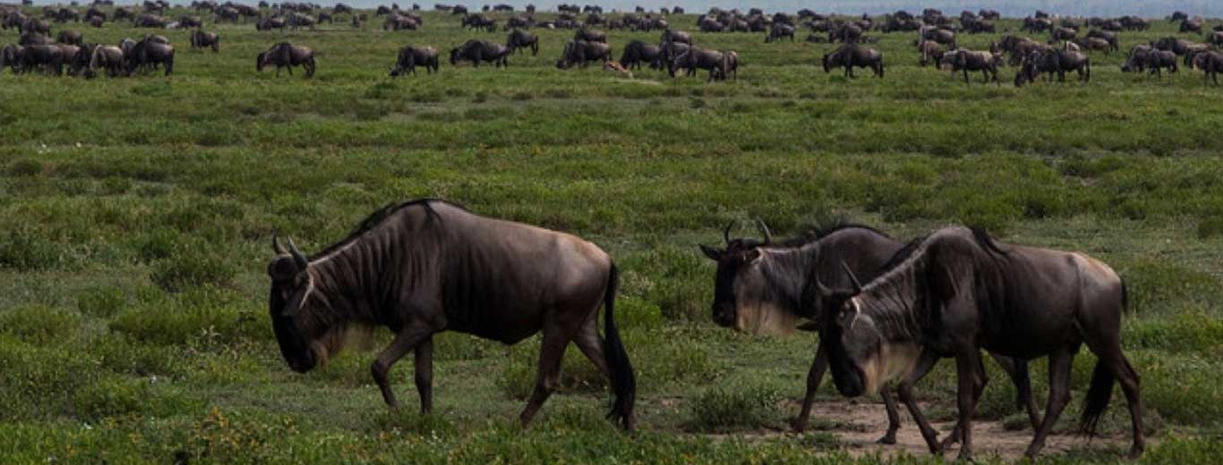 Migration Calving Season And Cultural Safari