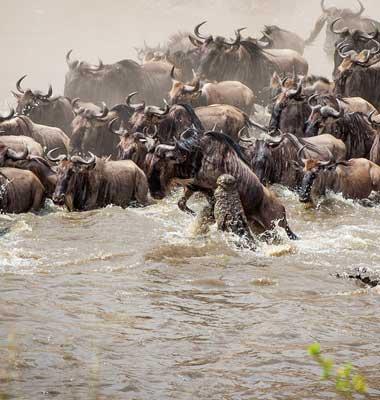 Serengeti River Crossing Migration