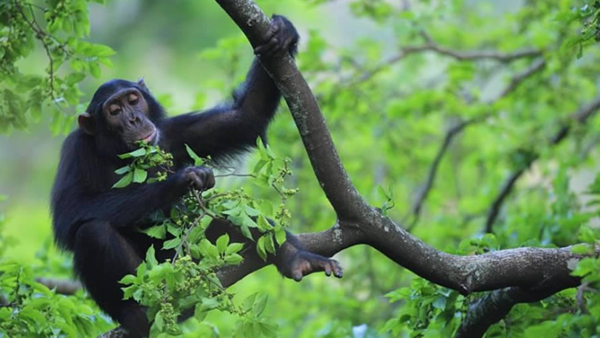 Chimpanzees in Gombe Stream National Park